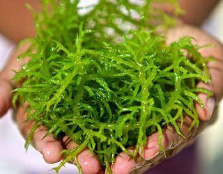 maanfaat dari rumput laut